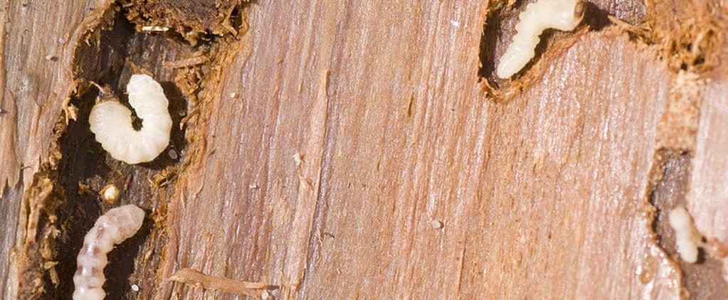 houtworm Sliter